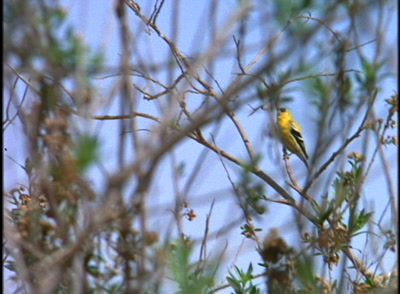 Finch In Tree, Possibly American Goldfinch