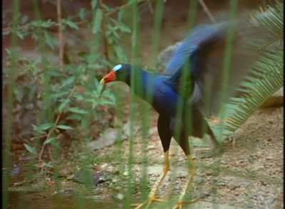 Purple Gallinule (Rail) Flaps Wings