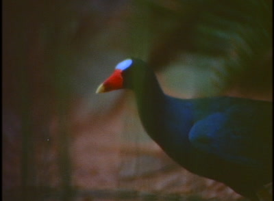 Purple Gallinule (Rail) Walks, Feeds At Water