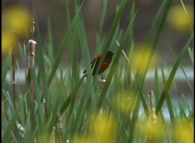 Bird, Possibly Red-Winged Blackbird, Among Yellow Flowers