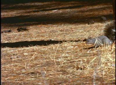 Squirrel Runs Along Ground