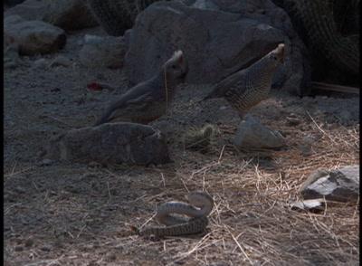 Grouse Sizing Up Snake