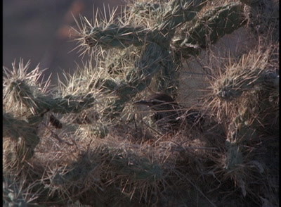 Small Bird In Cactus Spines Gathers Nest Material