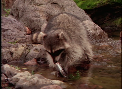 Raccoon Eats Fish By River