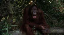 Orangutan  Sits On Tree Branch, Makes Faces