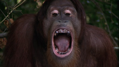 Orangutan  Sits On Tree Branch, Makes Faces