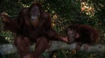 Orangutan  Sits On Tree Branch, Plays With Juvenile