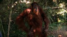 Orangutan Walks And Makes Faces