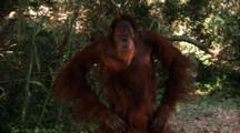 Orangutan Makes Faces