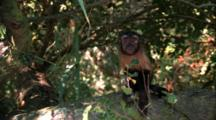Capuchin Monkey Climbs On Branch, Scratches