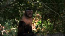 Capuchin Monkey Climbs In Tree Throws Branch