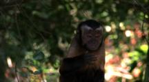 Capuchin Monkey Makes Faces