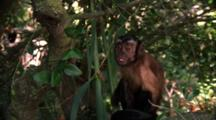 Capuchin Monkey Scratches, Leaps From Tree