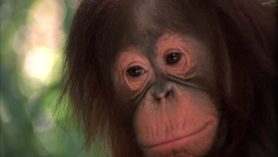Orangutan  Juvenile Makes Faces
