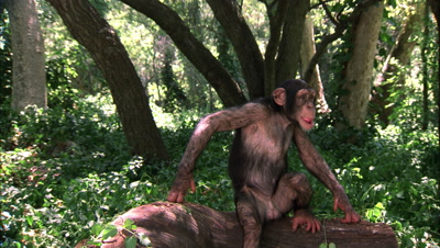 Chimpanzee Falls Backward Off Log On Purpose