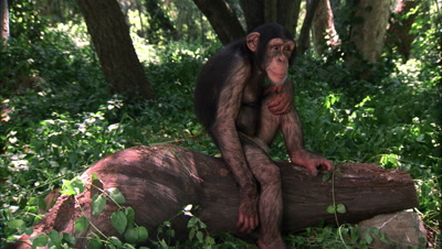 Chimpanzee Falls Off Log On Purpose