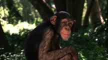 Chimpanzee Makes Faces