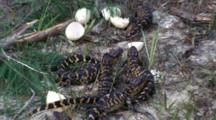 Newly Hatched Alligators And Egg Shells