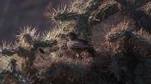 Small Bird In Cactus Spines, Flies Away
