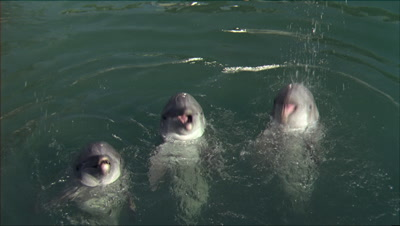 Three Dolphins Show Off On Surface
