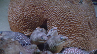 Four Moray Eels