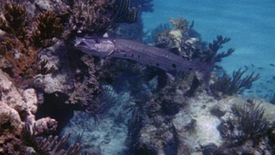 Great Barracuda Swimming