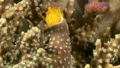 Christmas tree Worm_Yellow_coming out